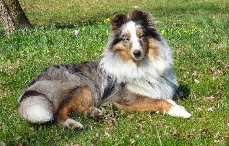 Shetland Sheepdog Puppies & Shelties for Sale in