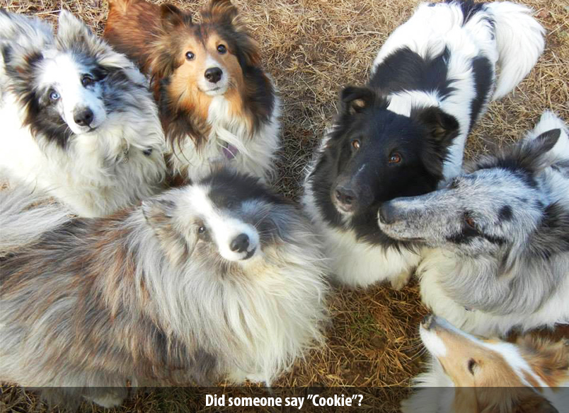 Shetland Sheepdog Puppy Breeders In Harrisburg Pa Lnd Shelties