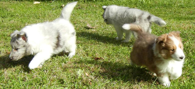 Available Sheltie Puppies for Sale in Harrisburg PA