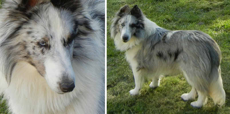 Blue Merle White Shetland Sheepdog Puppies For Sale In Pittsburgh